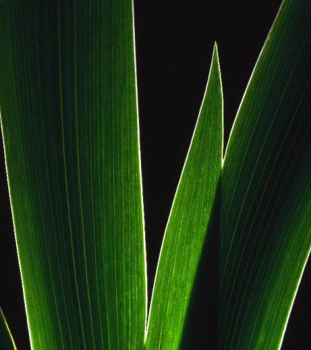 Silhouette or backlit garden plant