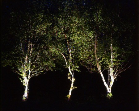 Uplighting three silver birches